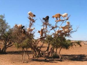 argan_goats_2