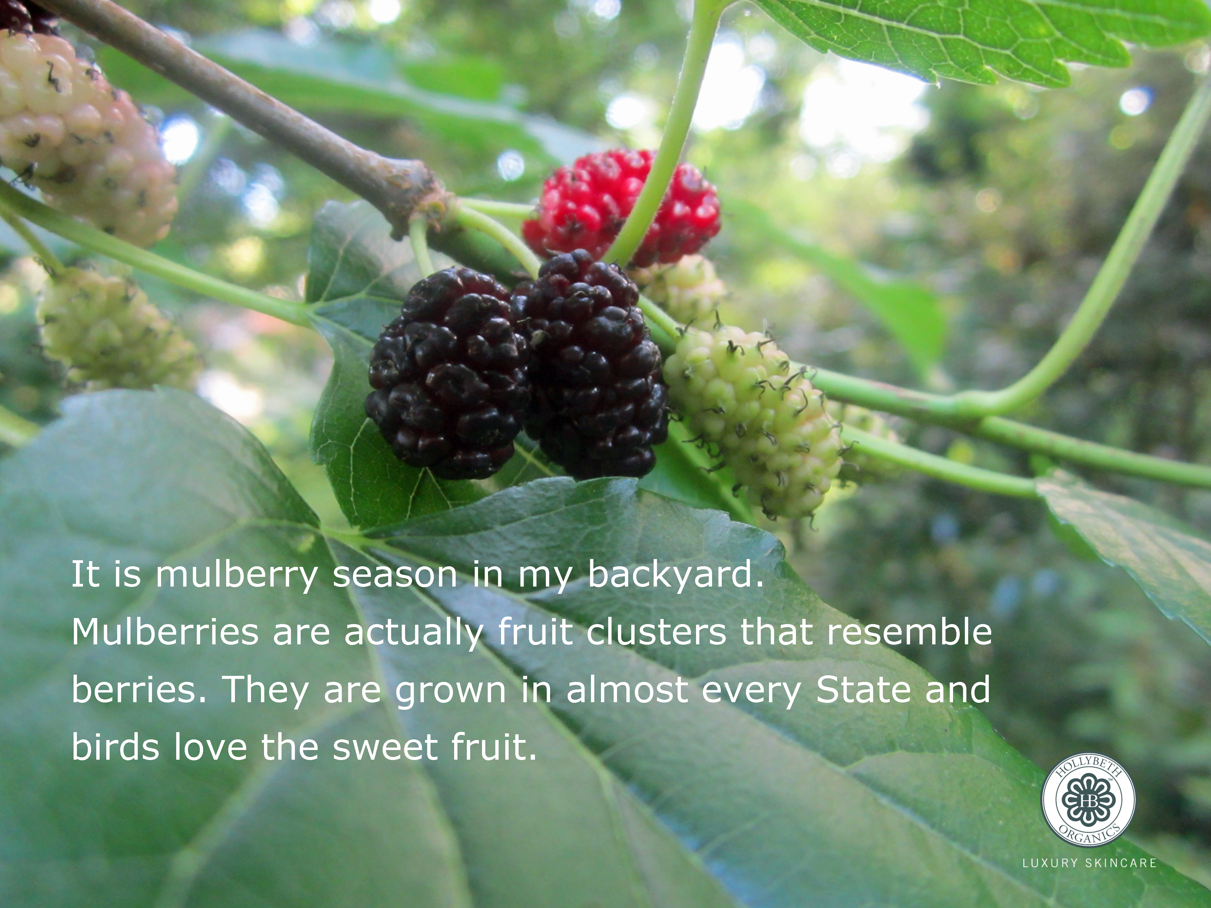 mulberries hollybeth organics luxury skin care