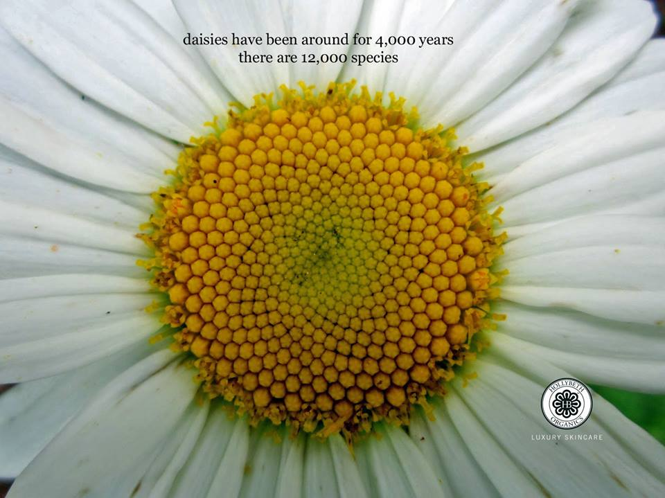 Daisies Hollybeth Organics Luxury Skin Care