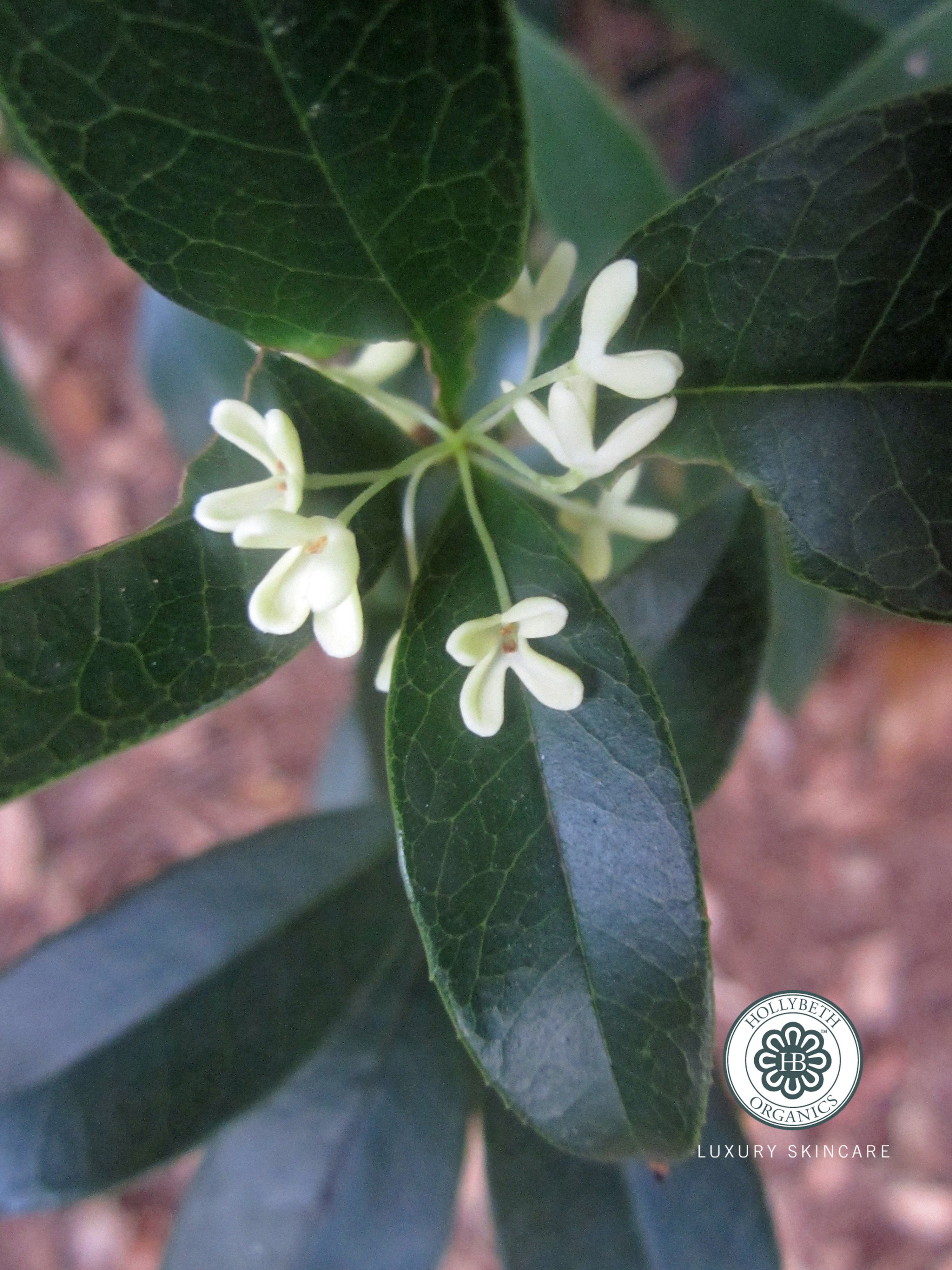 Tea olive tree hollybeth organics luxury skin care for Olive plant care