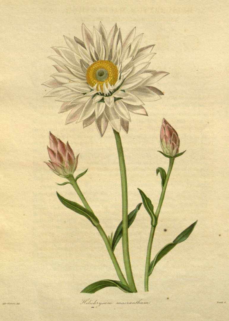 Vintage Strawflower Botanical Helichrysum macranthum