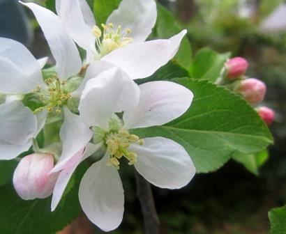 appleblossom1