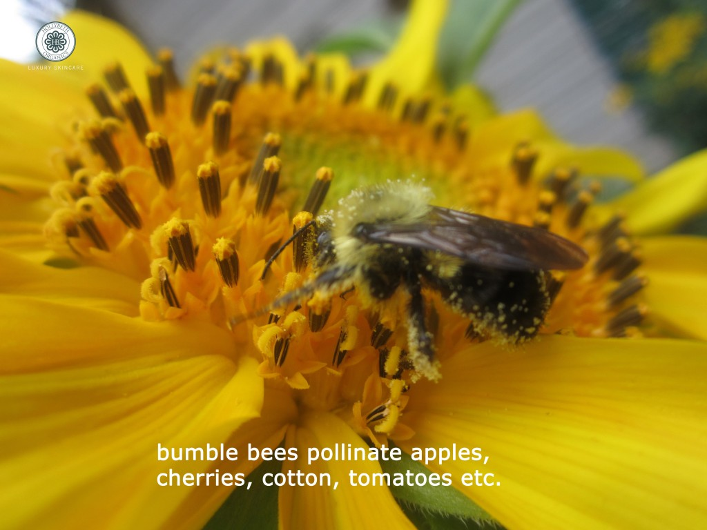 bumblbe pollinator_edited-1