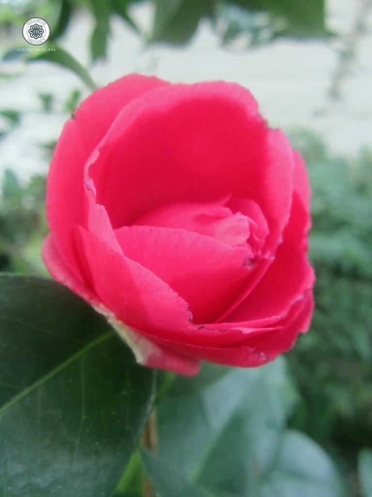 camellialabor 003