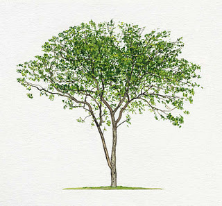 sandalwood tree